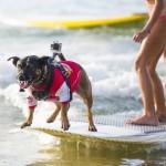 Собачий серфинг на Noosa Festival